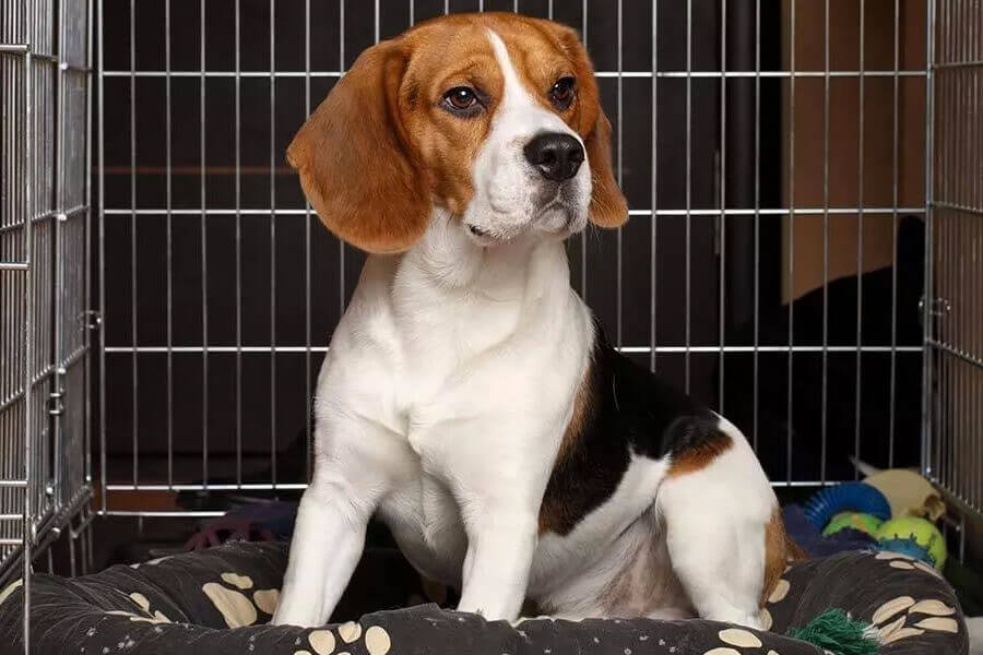 How To Crate Tain A Beagle