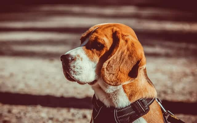 At what age is a Beagle full grown